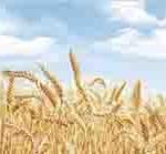 Кухонный фартук Пшеница (ПВХ пластик)