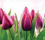 Кухонный фартук Тюльпаны (ПВХ пластик)